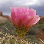 purple-cactus-flower---180x180
